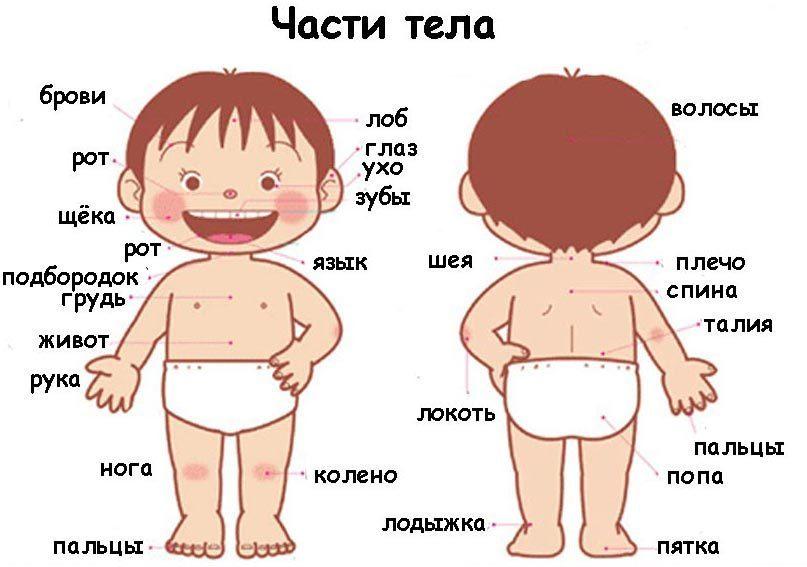 Картинки по запросу картинка  детям части тела