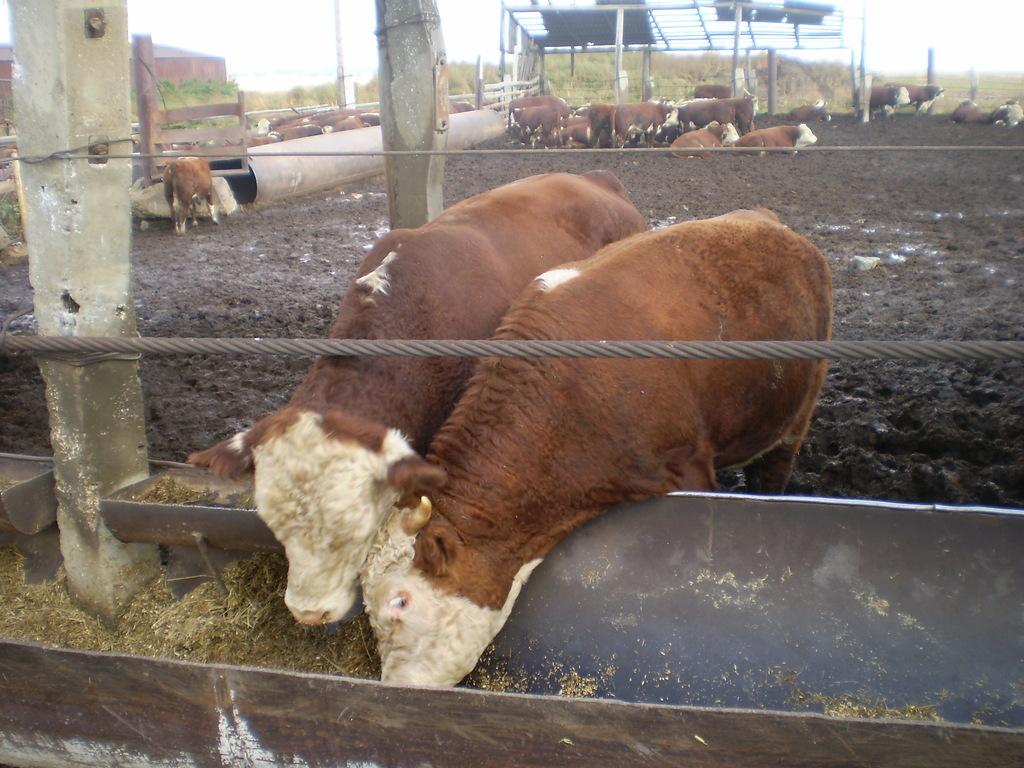 видео разведение бычков