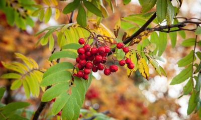 Page medium rowanberry 1711745 1920